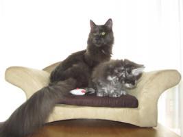 Foto 2 4 Blaue Maine Coon Kitten aus Ex. Veerpaarung ab 1. Oktober abzugeben