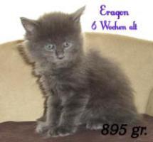 Foto 3 4 Blaue Maine Coon Kitten aus Ex. Veerpaarung ab 1. Oktober abzugeben