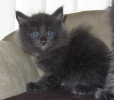 Foto 10 4 Blaue Maine Coon Kitten aus Ex. Veerpaarung ab 1. Oktober abzugeben