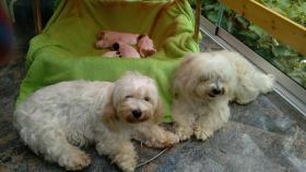 Foto 3 4 COTON de Tuléarwelpen(Baumwollhund)1 Weib.3 Rü.suchen ein neues zu Hause