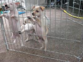 4 Chihuahua Alarmanlagen zu Verkaufen