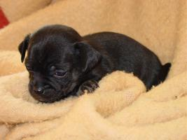 Foto 4 4 Chihuahua Welpen suchen neues Wirkungsfeld