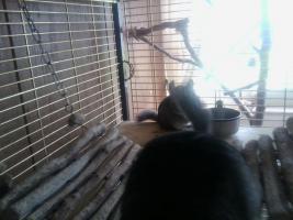Foto 3 4 Chinchillas mit grossem Käfig