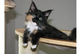Foto 3 4 Maine Coon Kitten sind bereit zur Abgabe