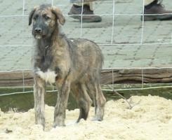4 Mon. alter Irish Wolfhoundrüde (Traumtyp) sucht noch seine passende Familie
