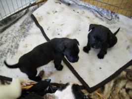 4 Wochen alte Labrador Boxer Welpen abzugeben