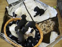 Foto 2 4 Wochen alte Labrador Boxer Welpen abzugeben