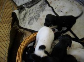 Foto 6 4 Wochen alte Labrador Boxer Welpen abzugeben