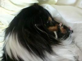 Foto 5 4 englische Collie-Welpen (Langhaar ) erblickten am 01.12.2011 die Welt