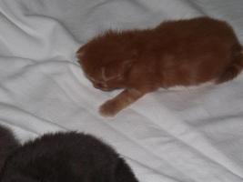 Foto 4 4 kleine Maincoons suchen sein Zuhause