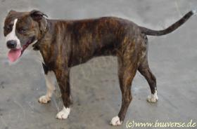 4 monate pit bull welpe