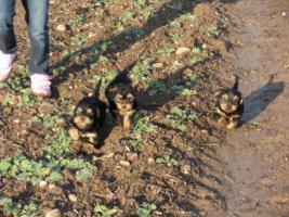 Foto 5 4 süße kleine Yorkshire Terrier Welpen