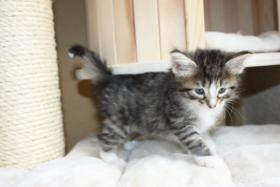 Foto 2 4 wunderschöne Norweger Kitten