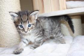 Foto 3 4 wunderschöne Norweger Kitten