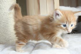 Foto 4 4 wunderschöne Norweger Kitten