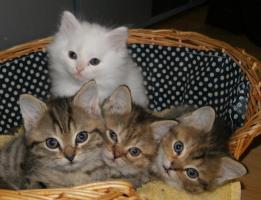 4 wunderschöne, süße Perserkätzchen