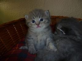 Foto 2 Ƹ̵̡Ӝ̵̨̄ƷBritisch Kurzhaar Babys in blue u. blue-tabby