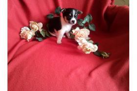 Foto 2 *-*-'4 ++ Liebe Chihuahua Welpen, LH/KH*-*-.*