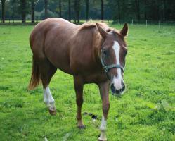 Foto 4 4jährigen Quarter Horse Wallach (Doc Chex Enkel) zu verkaufen