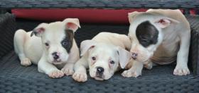5 American Bulldog Welpen (Rüden)