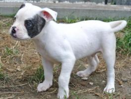 Foto 3 5 American Bulldog Welpen (Rüden)