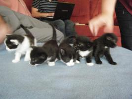5 Katzenbabys aus Garbsen