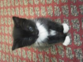 Foto 5 5 Katzenbabys aus Garbsen