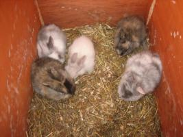 5 Zwerghasenbabys suchen ein Zuhause