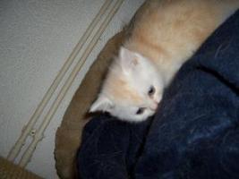 Foto 6 5 reinrassige BKH Kitten suchen.............................