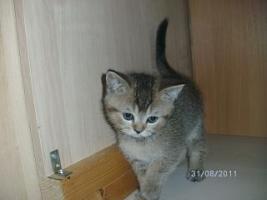 Foto 8 5 reinrassige BKH Kitten suchen.............................