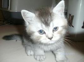 Foto 9 5 reinrassige BKH Kitten suchen.............................