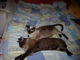 Foto 7 5 süße reinrassige Thai (Siam)-Kitten suchen neue Dosenöffner