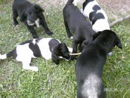 Foto 3 5 wunderschöne Labradormischlingswelpen  in LIEBEVOLLE Hände abzugeben