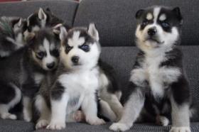 5 wundervolle Siberian Husky Welpen zu verkaufen