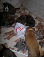 Foto 4 6 Boxermischlinge- Welpen, 2 Weibchen, 4 Rüden zu verkaufen!
