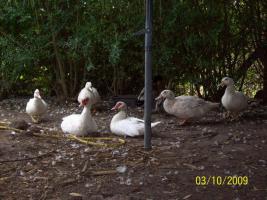 6 Enten wegen Umzug sehr schnell zu verkaufen