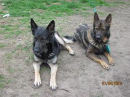 Foto 6 6 tolle graue Schäferhunde