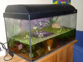 60 Liter Aquarium mit einem blauen Feuerbachmolch