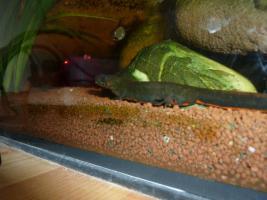 Foto 3 60 Liter Aquarium mit einem blauen Feuerbachmolch