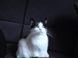 7 Jahre alte Katze / Sterilisiert