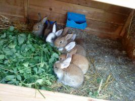 7 Kaninchen 8 -wochen alt