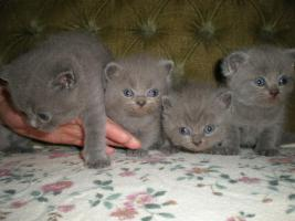 Unsere BKH-Babys