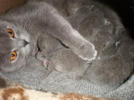 Foto 3 7 Süße Blau BKH - Kätzchen zu verkaufen !!!