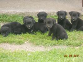 7 süsse schwarze Labrador Babys zvk mit gratis Lieferung!