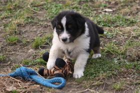 Foto 9 8 Australian Shepherd Welpen mit ASCA Papieren