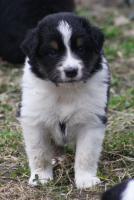 Foto 13 8 Australian Shepherd Welpen mit ASCA Papieren