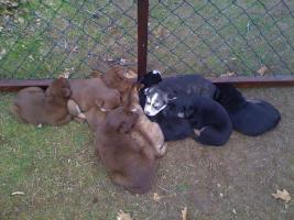 8 Labrador-Husky Welpen