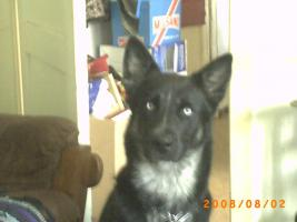 Foto 3 8 Labrador-Husky Welpen
