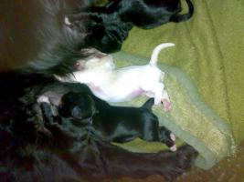 8 süße Hundewelpen