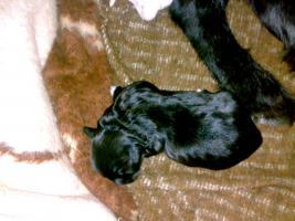 Foto 2 8 süße Hundewelpen